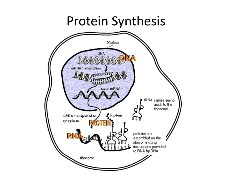 2 steps of protein synthesis Protein synthesis is a fancy term that means making protein in this lesson, we'll learn about protein synthesis and the two steps of this process: transcription and translation.