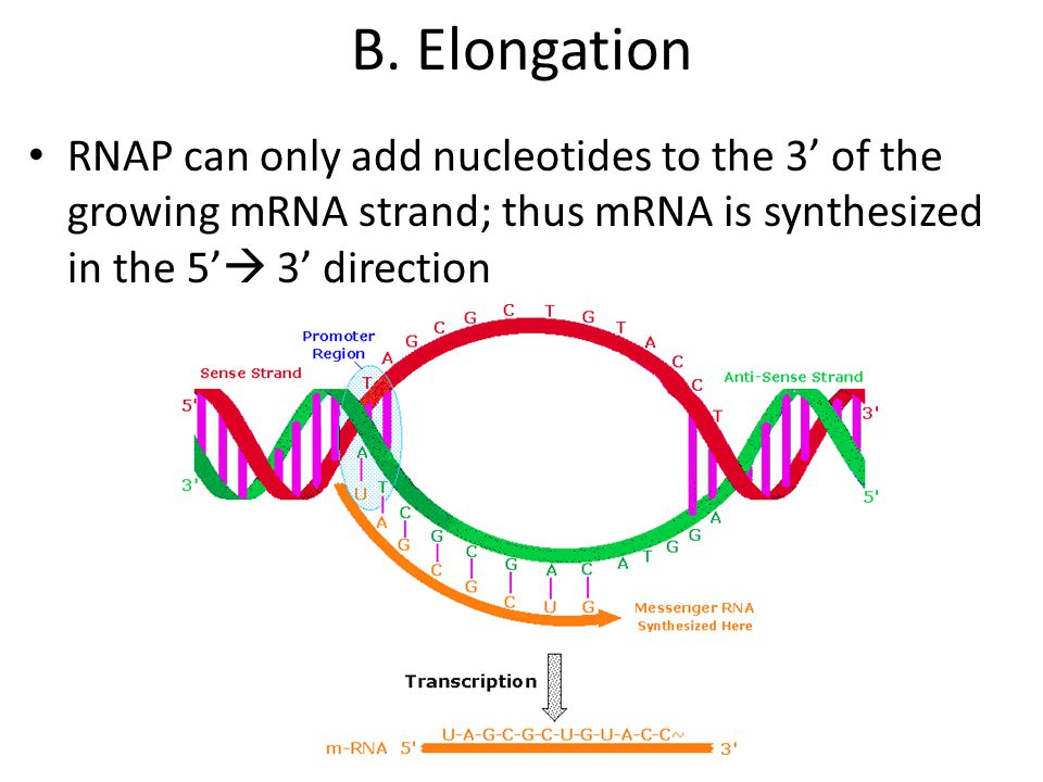 Mrna Strand Nucleotide Protein Synthesis. - p...
