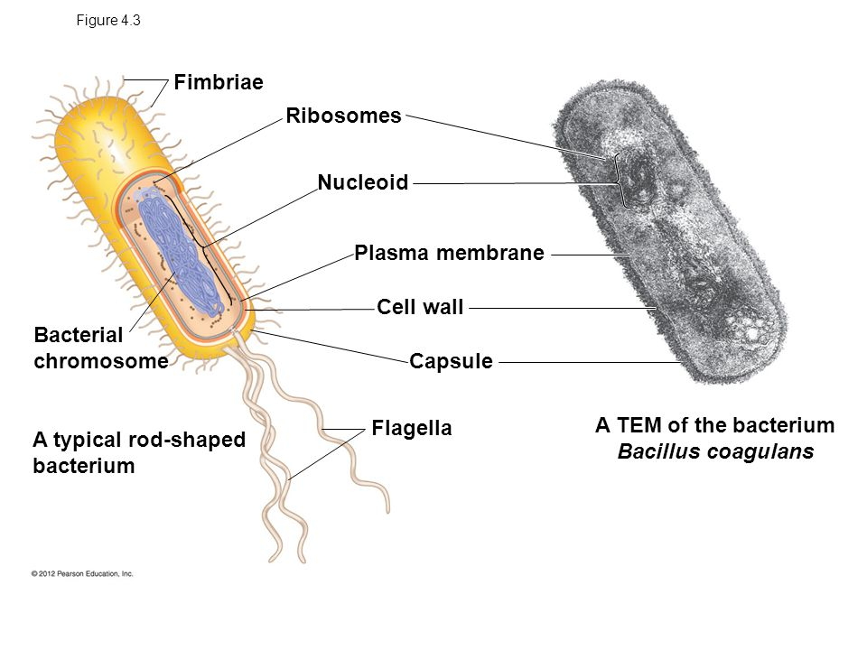 Cell structure and function ppt download a tem of the bacterium bacillus coagulans ccuart Choice Image