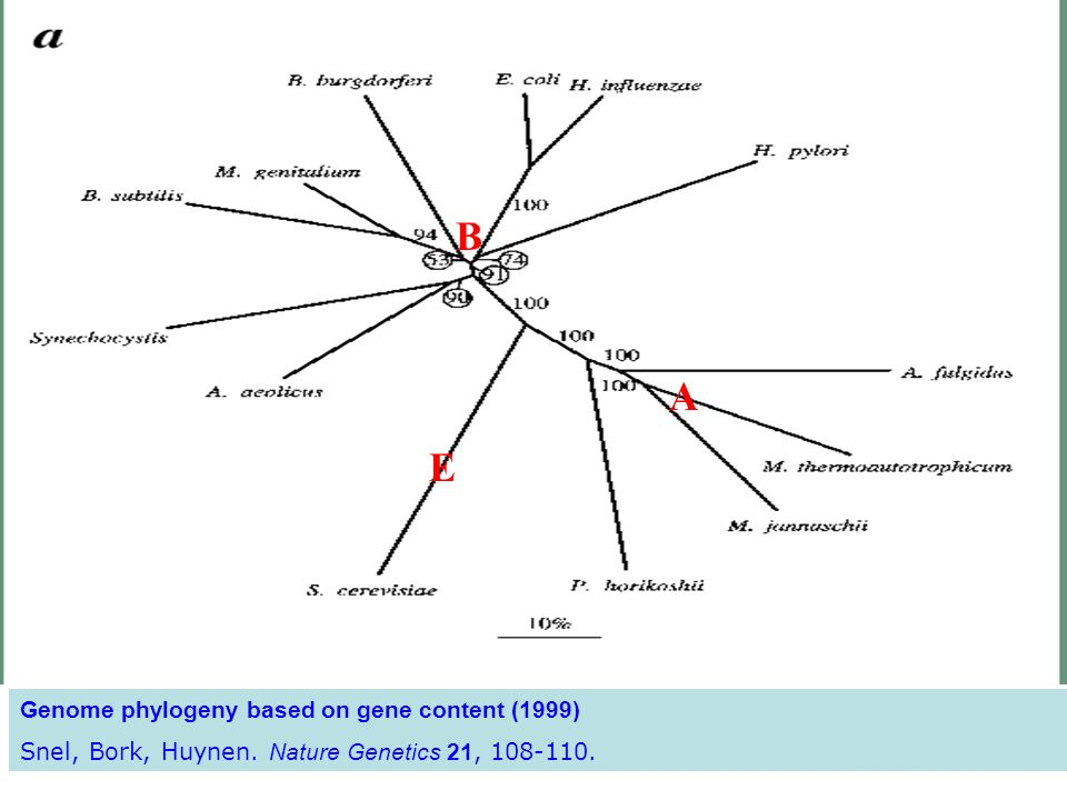 B A E Genome phylogeny based on gene content (1999)
