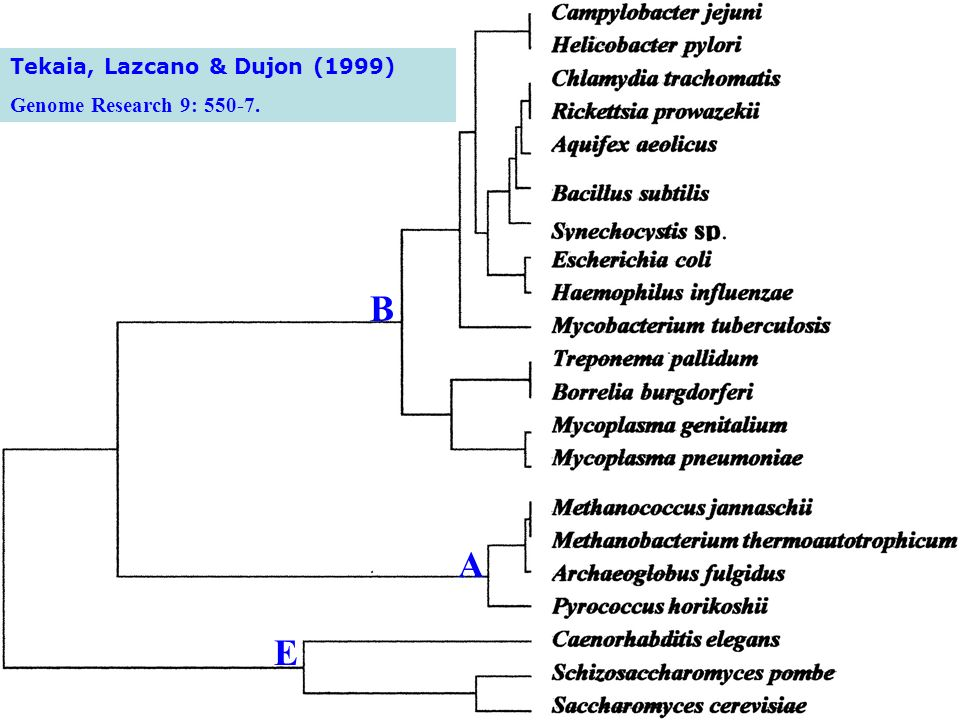 B A E Tekaia, Lazcano & Dujon (1999) Genome Research 9: 550-7.