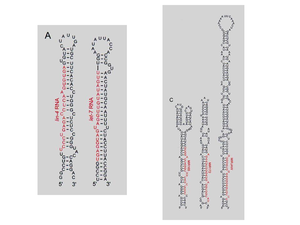 Quelques examples de structures secondaires en tige-boucle (ou epingle a cheveux) caracteristique des miRNA. A gauche deux miRNA de C. elegans, a droite des miRNA de plantes.