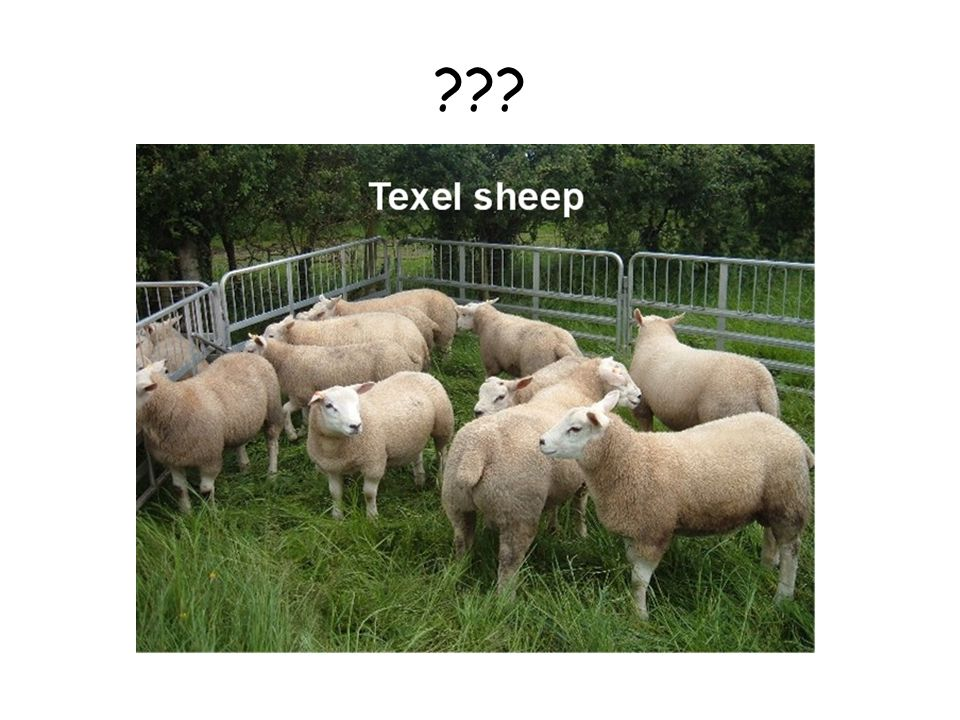Un phenotype du a une regulation par microARN: la race Texel chez les moutons.