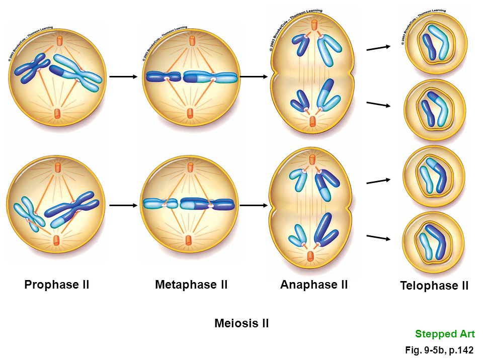 Prophase Prometaphase Metaphase Anaphase Telophase Meiosis and Sexual Rep...