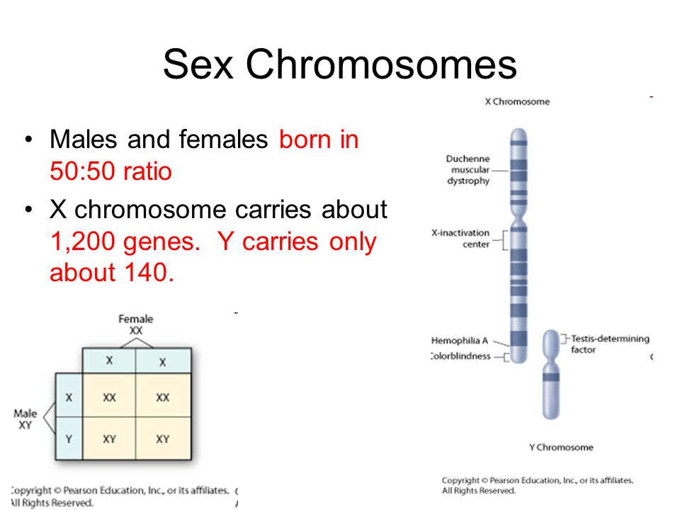 Sex Chromosomes Males and females born in 50:50 ratio