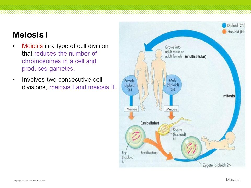 Meiosis I Meiosis is a type of cell division that reduces the number of chromosomes in a cell and produces gametes.