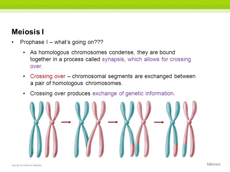 Meiosis I Prophase I – what's going on