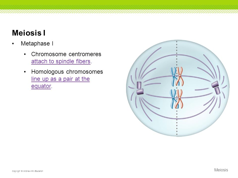 Meiosis I Metaphase I Chromosome centromeres attach to spindle fibers.