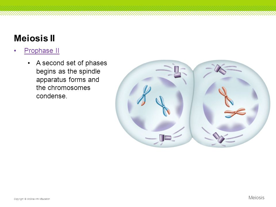 Meiosis II Prophase II. A second set of phases begins as the spindle apparatus forms and the chromosomes condense.
