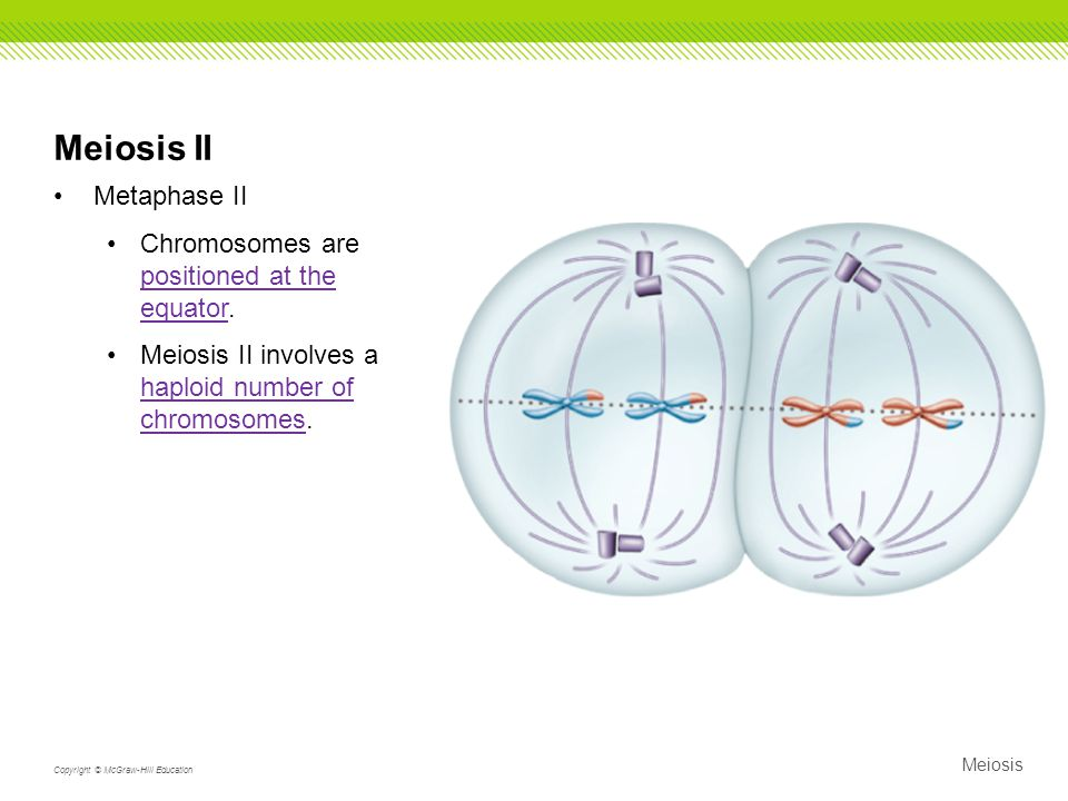 Meiosis II Metaphase II Chromosomes are positioned at the equator.