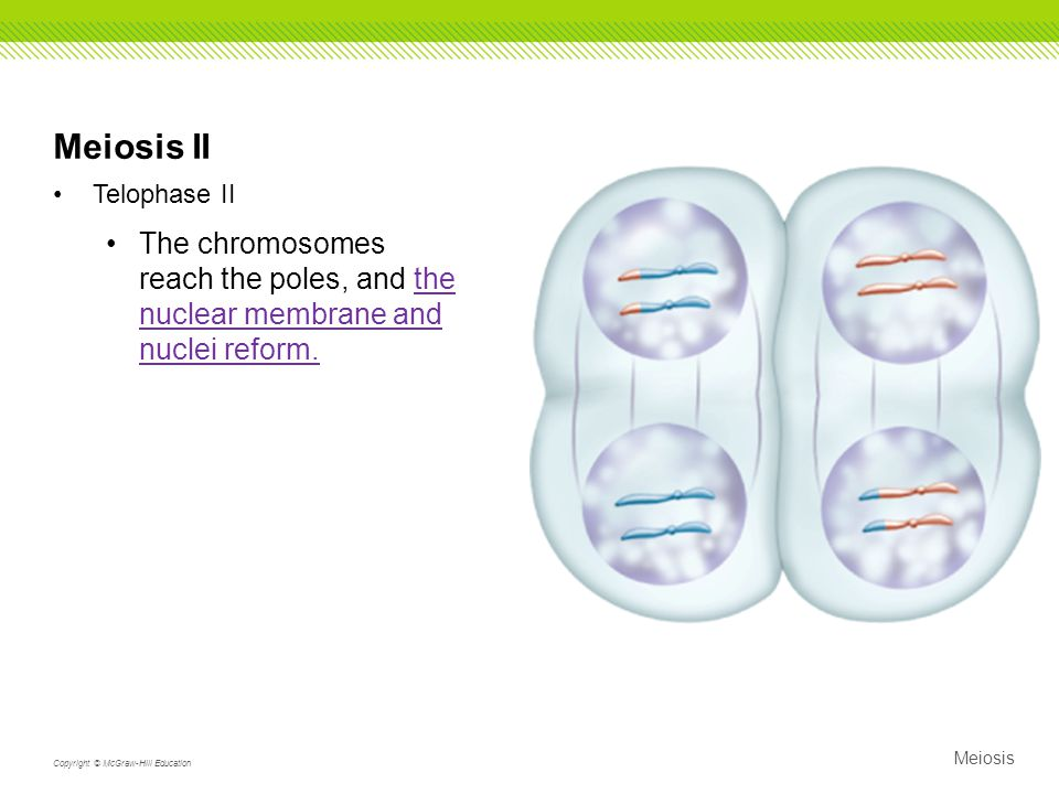 Meiosis II Telophase II. The chromosomes reach the poles, and the nuclear membrane and nuclei reform.