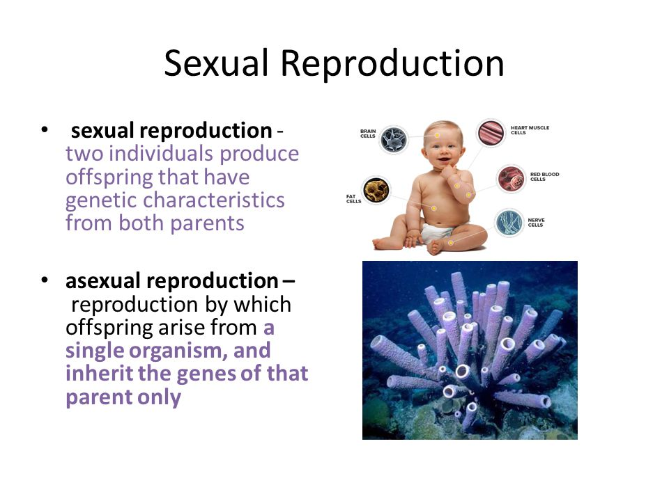 Sexual Reproduction sexual reproduction - two individuals produce offspring that have genetic characteristics from both parents.