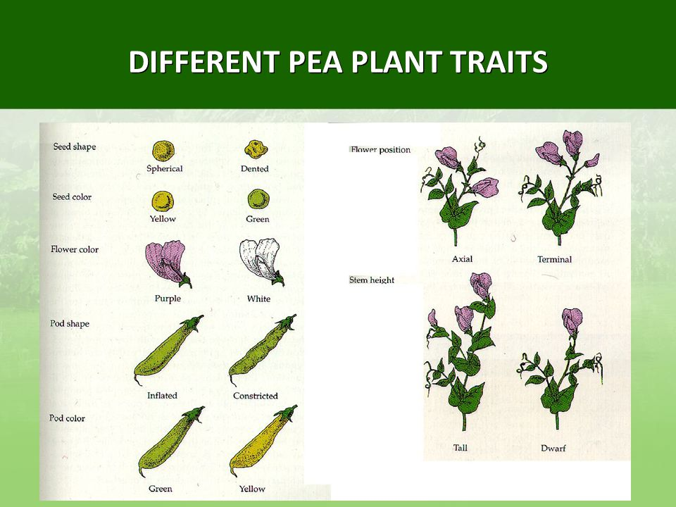 Patterns of inheritance ppt download for Different garden plants