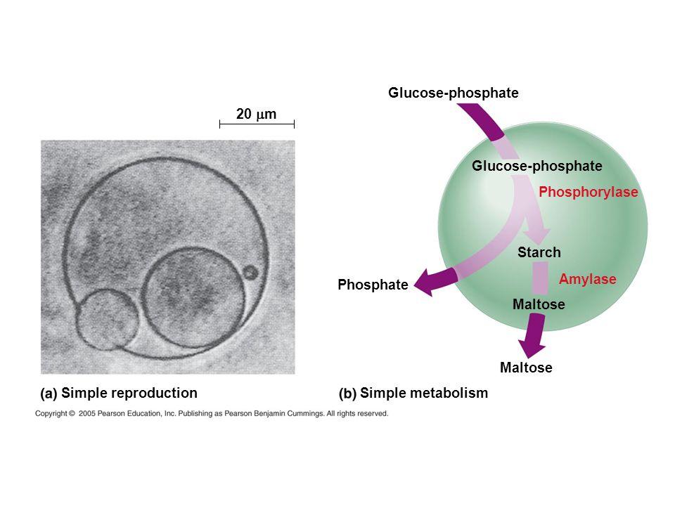 Glucose-phosphate 20 mm. Glucose-phosphate. Phosphorylase. Starch. Amylase. Phosphate. Maltose.