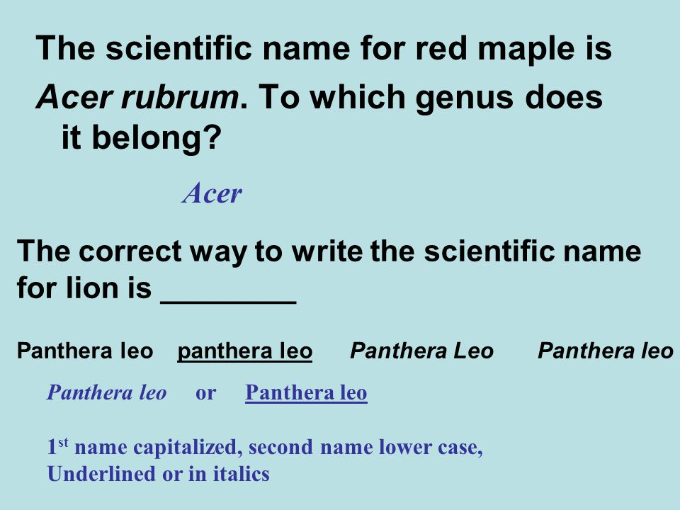 The scientific name for red maple is