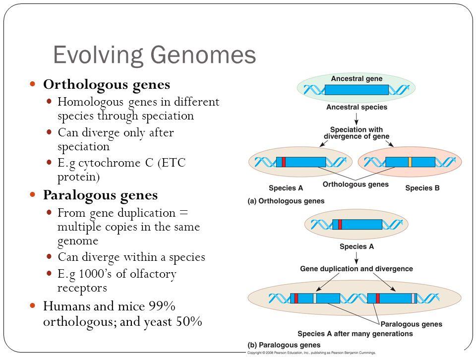 Evolving Genomes Orthologous genes Paralogous genes