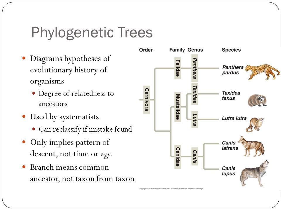 Phylogenetic Trees Diagrams hypotheses of evolutionary history of organisms. Degree of relatedness to ancestors.