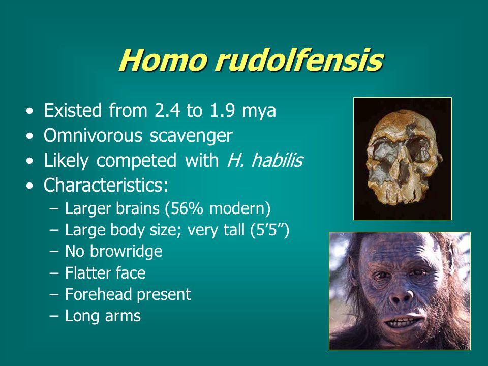 the physical characteristics of homo habilis Homo habilis were found in southern and eastern portions of africa, they were first described in the 1960s, and it is believed that they were capable of speech they had larger brains than more rudimentary creatures, and they were around 5 feet tall the homo habilis was thought to be the link that.