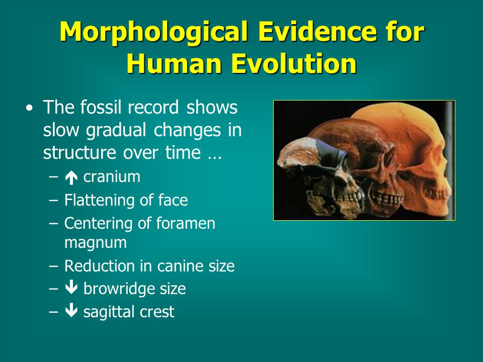 a study on human evolution and the fossil record The name for a scientist who studies evolution as it relates to human beings is an scientists who study evolution in the fossil record are known as.