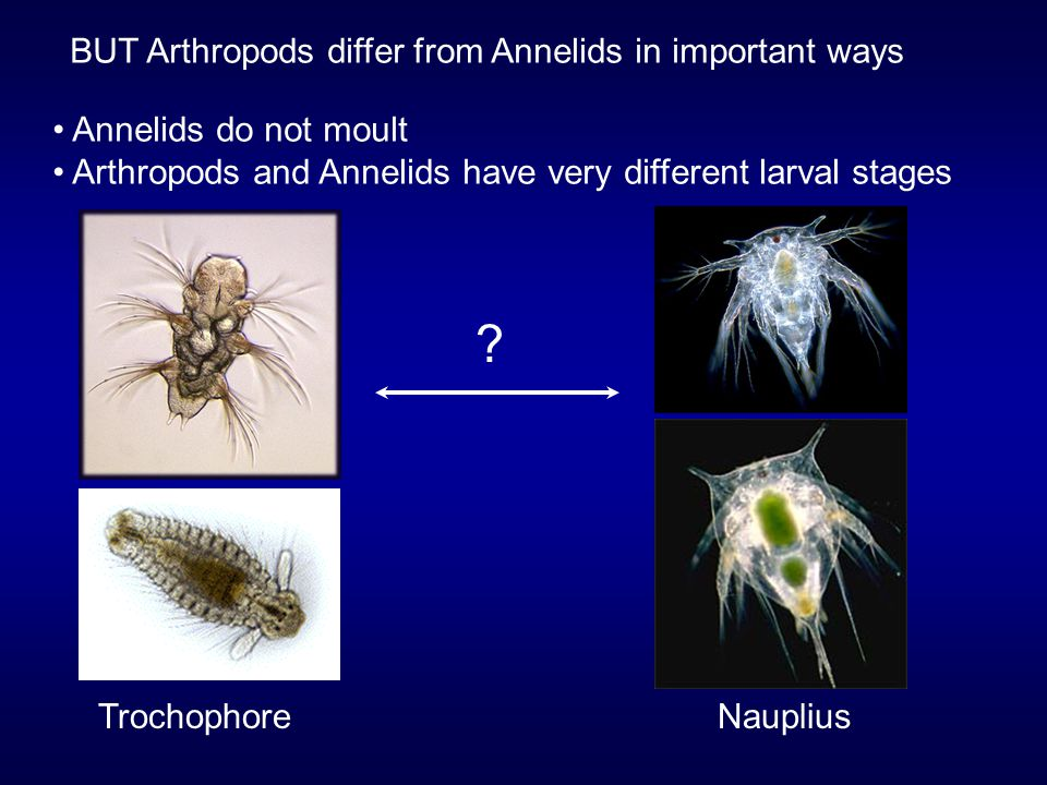 annelids and arthropods relationship