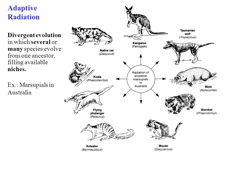 evolution adaptive radiation What is the relationship between radiation and evolution is background radiation a critical component in evolution and would the course of evolution have changed substantially when there would be no such background difference/similarity between adaptive radiation and species divergence-2.