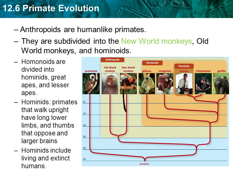 Anthropoids are humanlike primates.