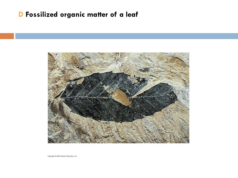 D Fossilized organic matter of a leaf