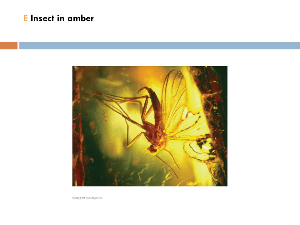 E Insect in amber