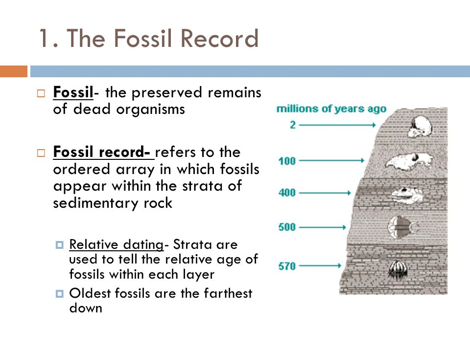 1. The Fossil Record Fossil- the preserved remains of dead organisms