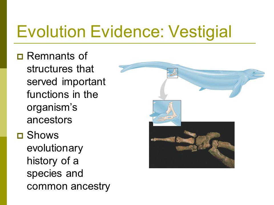 Evolution Evidence: Vestigial