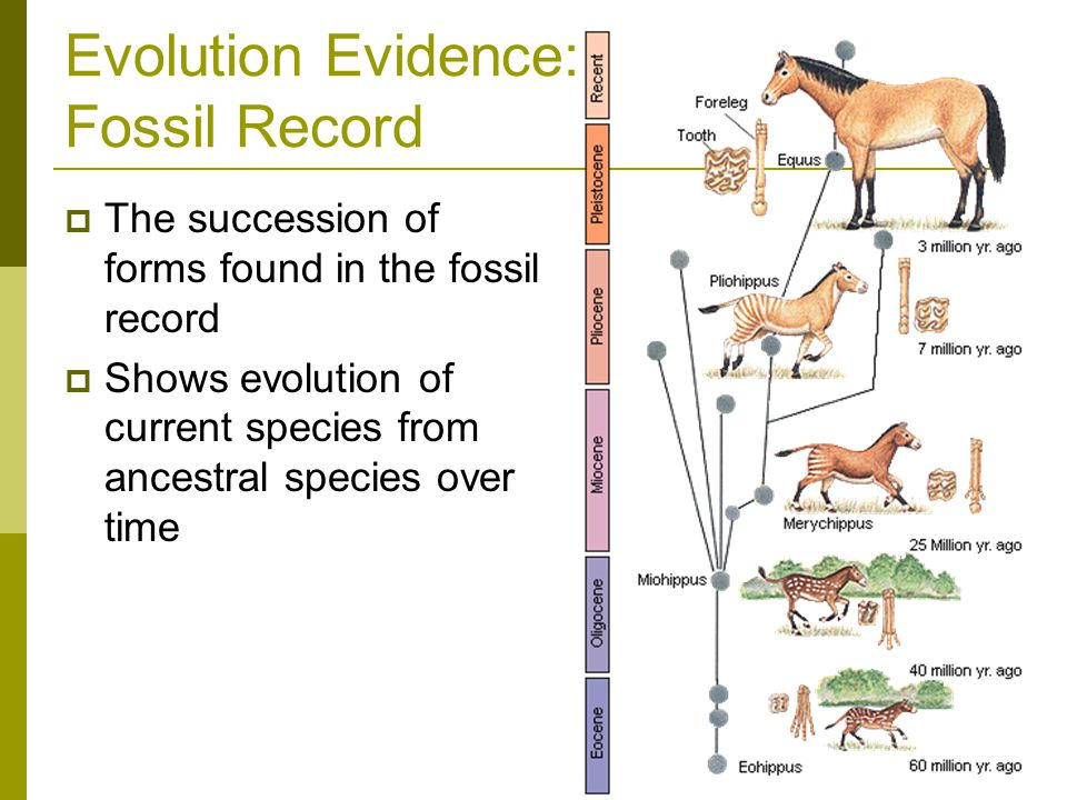 Evolution Evidence: Fossil Record