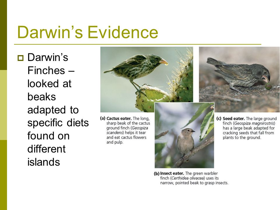 Darwin's Evidence Darwin's Finches – looked at beaks adapted to specific diets found on different islands.