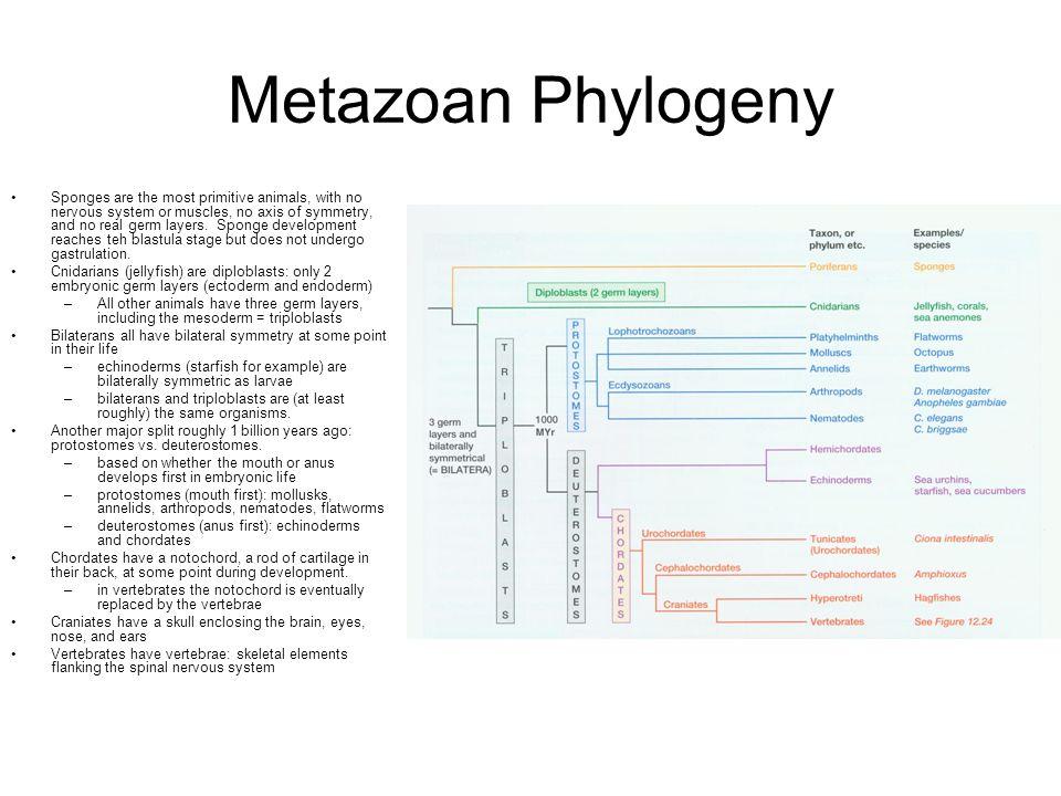 Metazoan Phylogeny