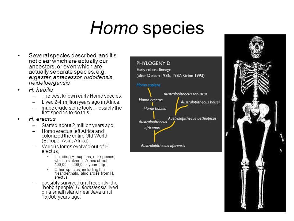 Homo species