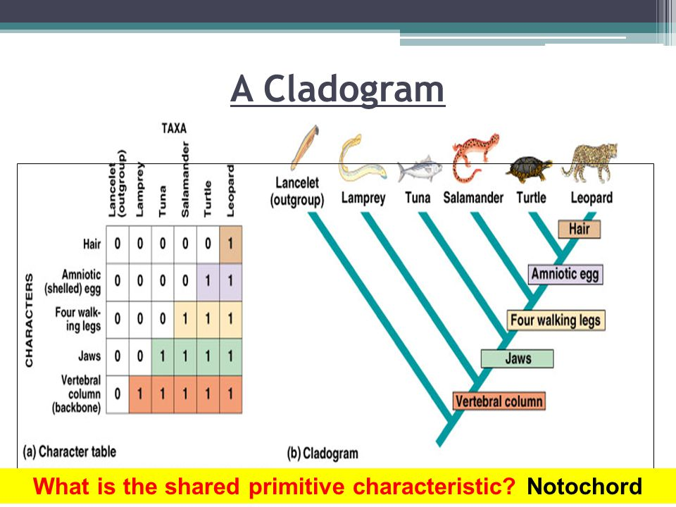 What is the shared primitive characteristic Notochord
