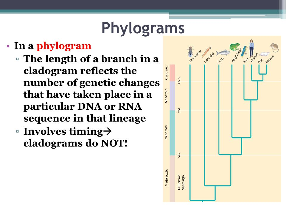 Phylograms In a phylogram
