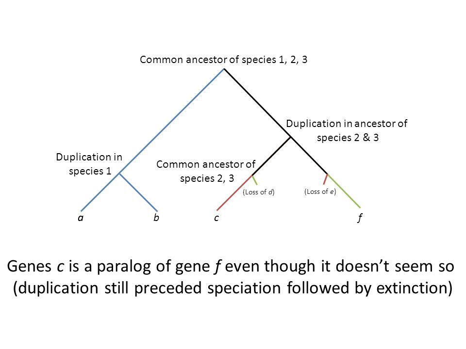 Genes c is a paralog of gene f even though it doesn't seem so