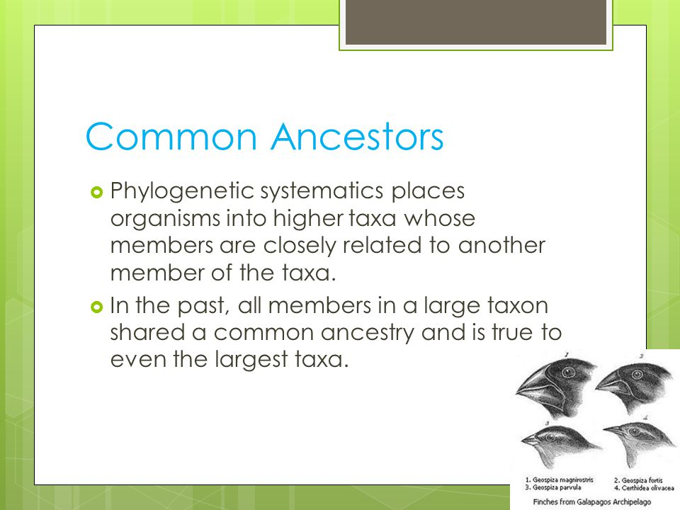 Common Ancestors Phylogenetic systematics places organisms into higher taxa whose members are closely related to another member of the taxa.
