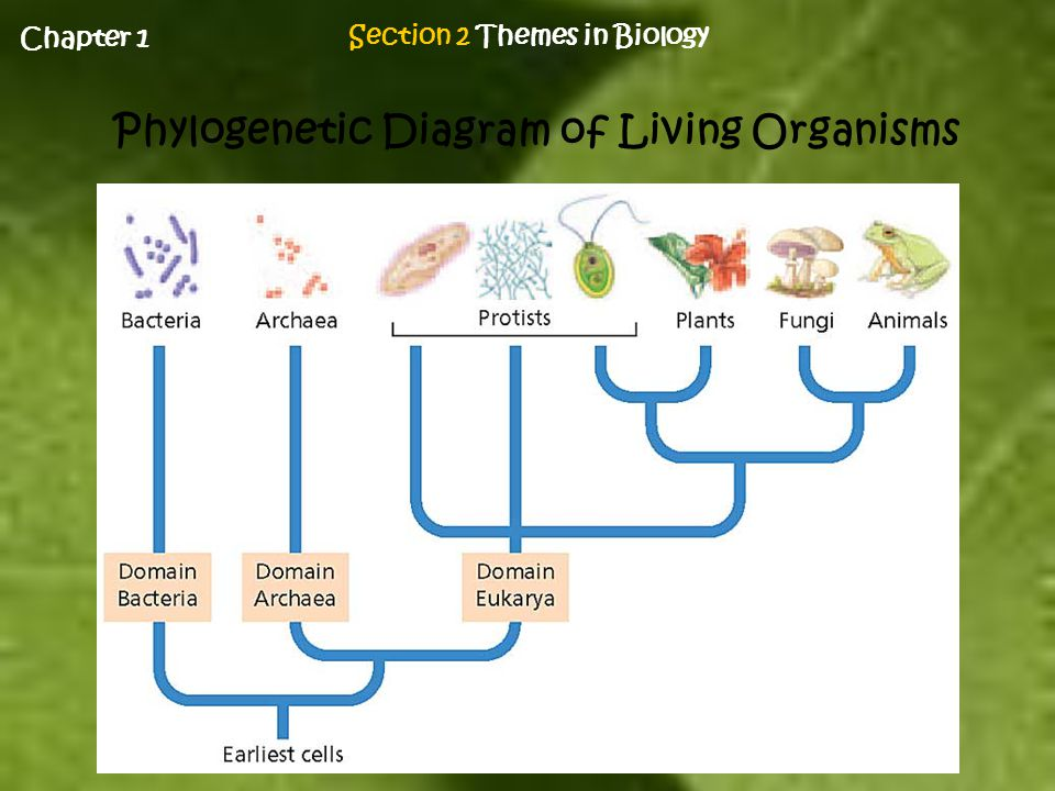 Mrs armstrong biology i ppt download section 2 themes in biology phylogenetic diagram of living organisms ccuart Image collections