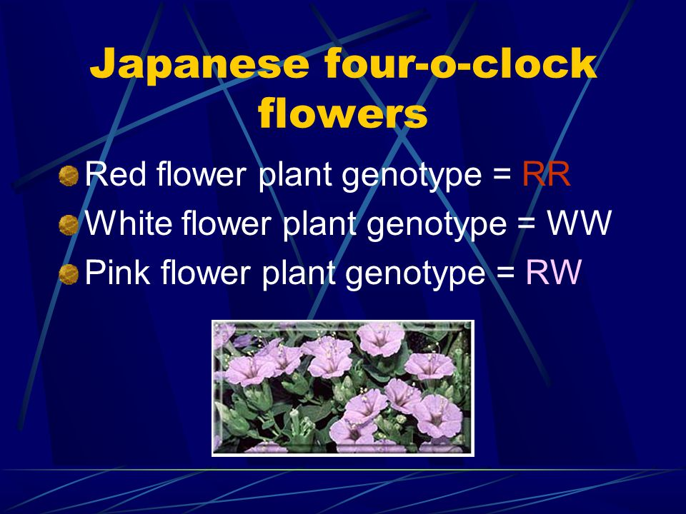 Japanese four-o-clock flowers