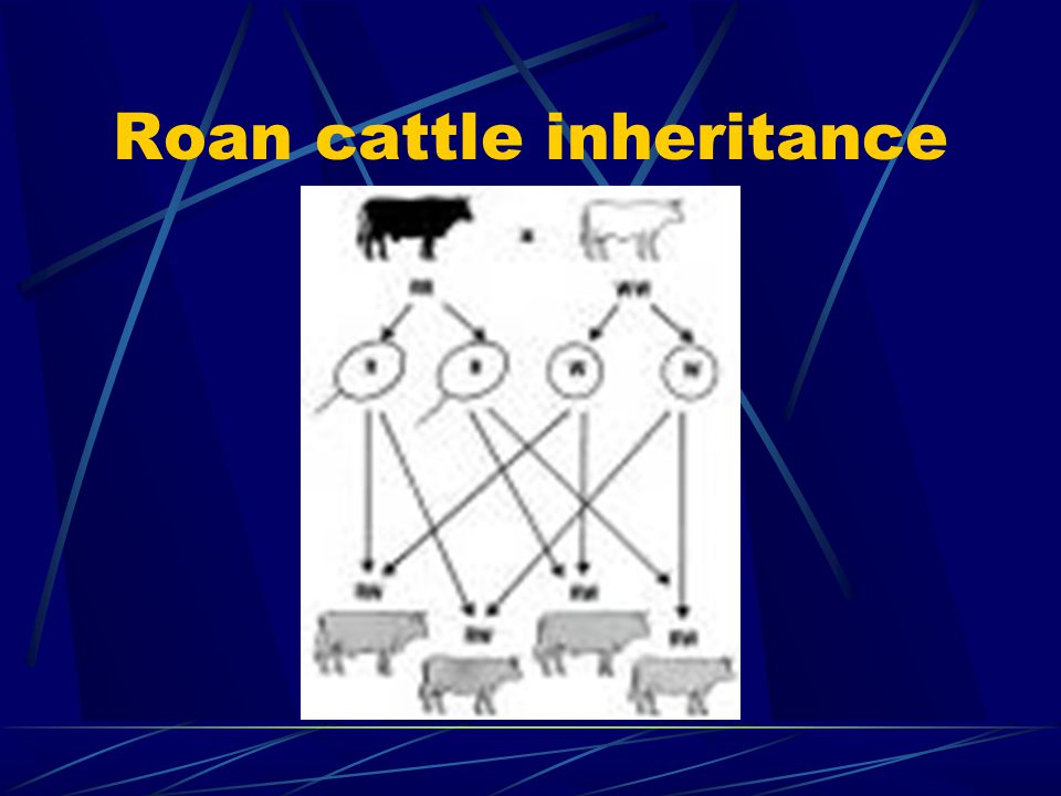 Roan cattle inheritance
