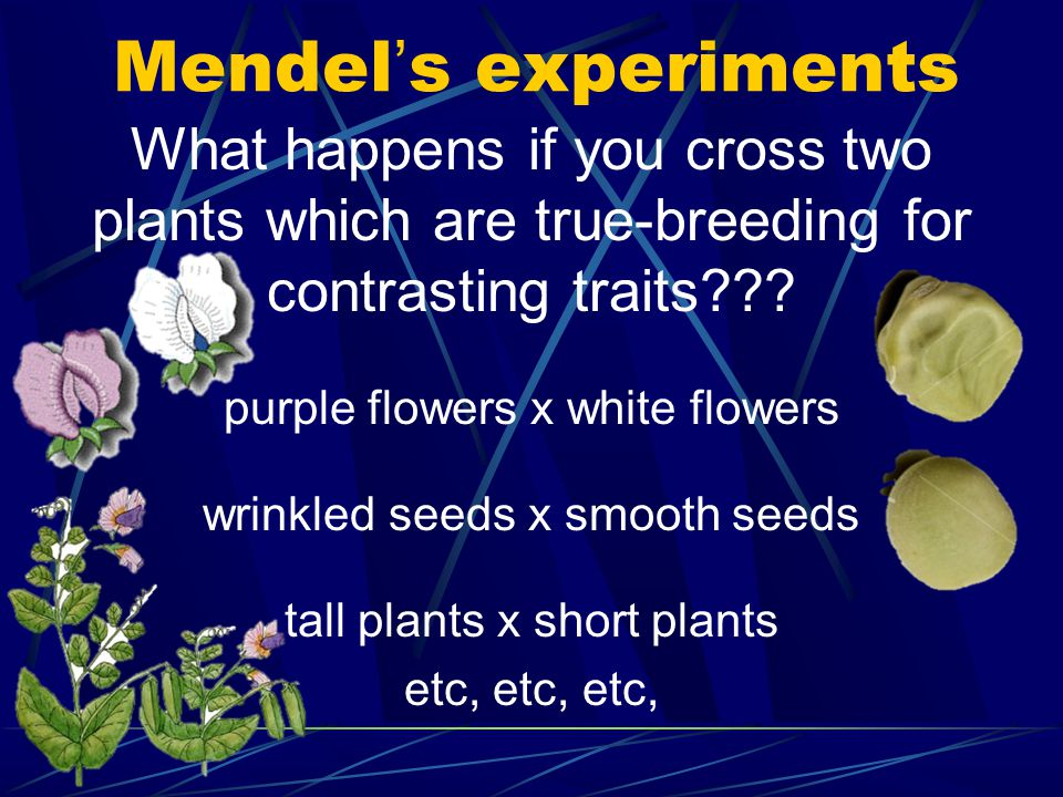 Mendel's experiments What happens if you cross two plants which are true-breeding for contrasting traits