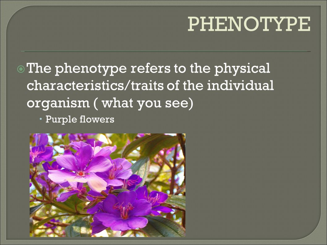 PHENOTYPE The phenotype refers to the physical characteristics/traits of the individual organism ( what you see)‏
