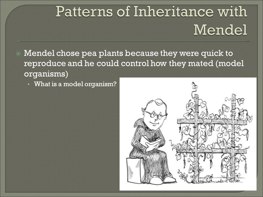 Mendel chose pea plants because they were quick to reproduce and he could control how they mated (model organisms)‏