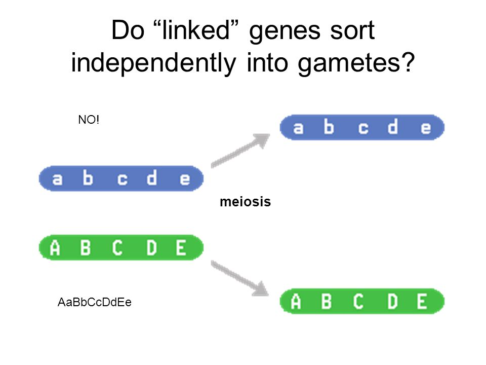 Do linked genes sort independently into gametes