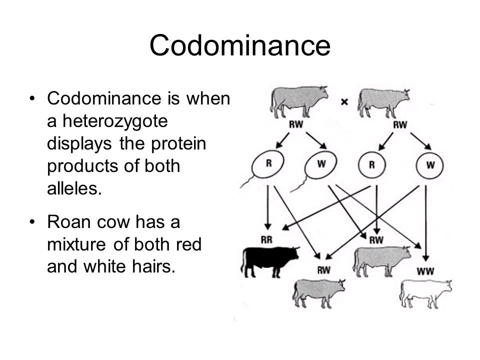 Codominance Codominance is when a heterozygote displays the protein products of both alleles.