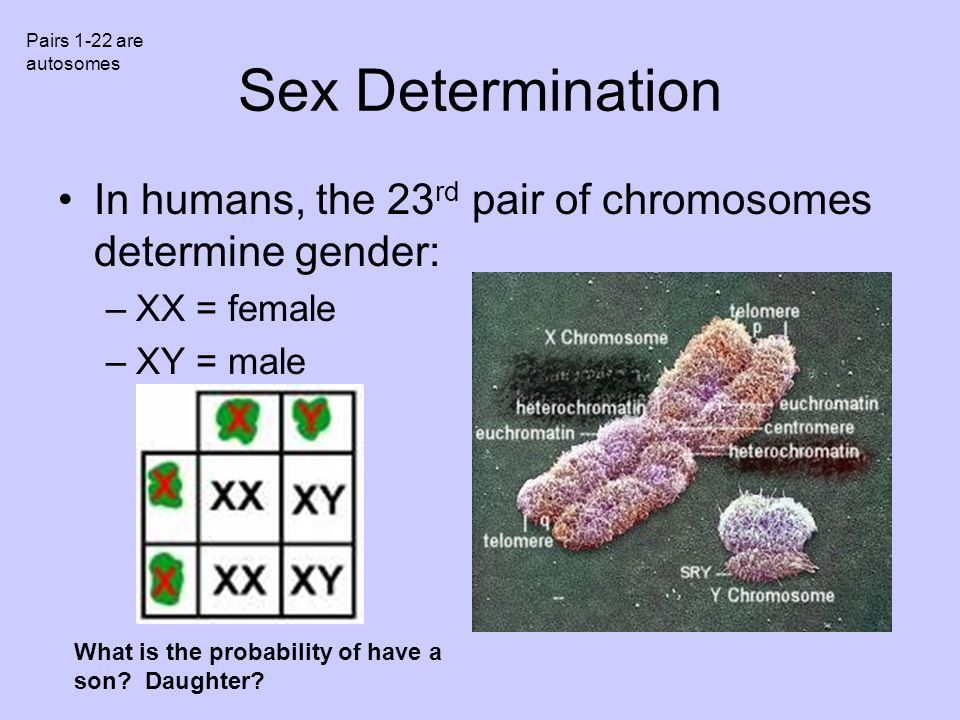 Pairs 1-22 are autosomes Sex Determination. In humans, the 23rd pair of chromosomes determine gender: