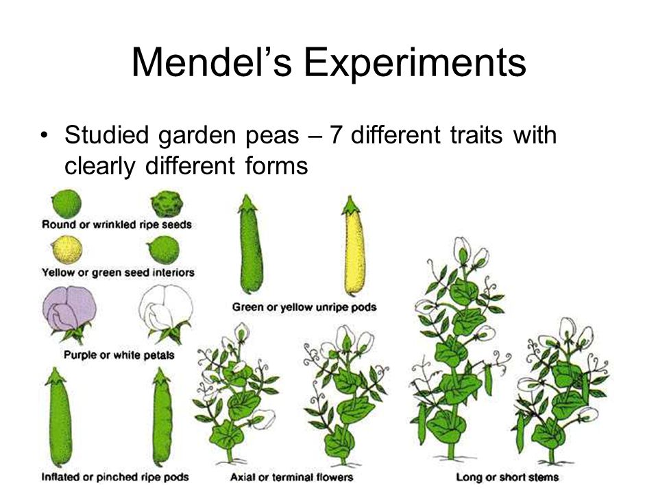 Mendel's Experiments Studied garden peas – 7 different traits with clearly different forms