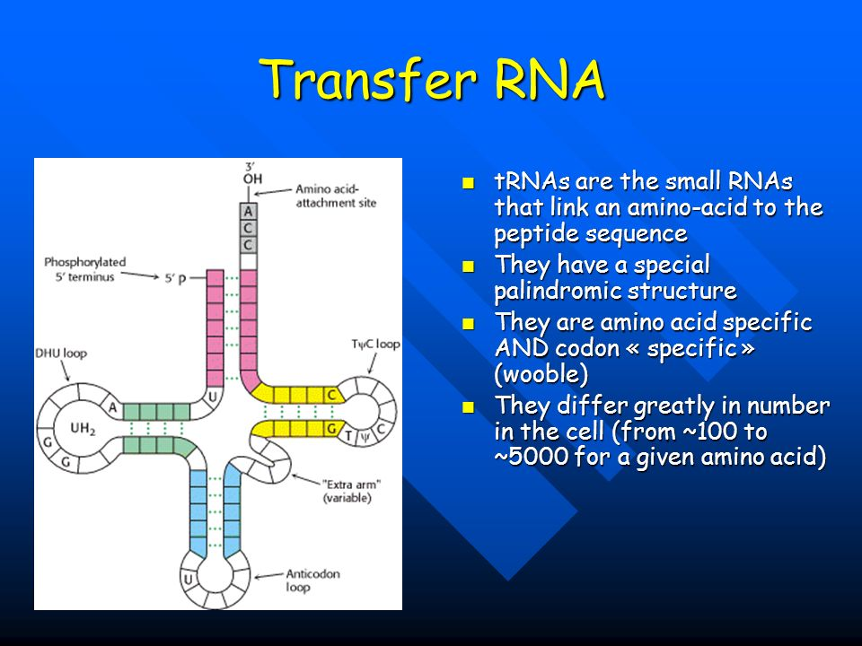 Transfer RNA tRNAs are the small RNAs that link an amino-acid to the peptide sequence. They have a special palindromic structure.