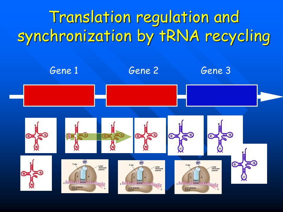 Translation regulation and synchronization by tRNA recycling
